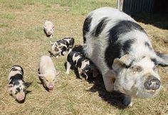 New favorite pig breed, Kunekune