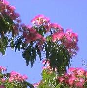 Arbre de soie albizia julibrissin albizia julibrissin for Acacia de constantinople prix