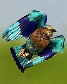 Indian roller Flying Bird via Bird's Eye View at www.Facebook.com/aBirdsEyeViewForYou
