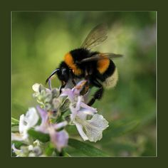 According to 20th century folklore, the laws of aerodynamics prove that the bumble bee should be incapable of flight, as it does not have the capacity (in terms of wing size or beats per second) to achieve flight with the degree of wing loading necessary.
