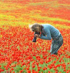 Corn fields of poppies