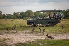 Chitabe camps have become well known as a great destination where the chance of having an amnazing sighting of wild dogs is pretty good