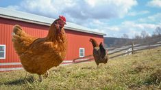 Chickens enjoying spring at Farm Sanctuary