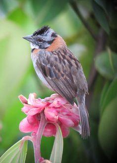 'Zonotrichia capensis / Gorrión copetón / Rufous-collared Sparrow | Flickr - © Félix Uribe