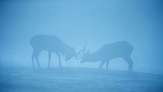 two red deer stags having a spar in the soft blue light Red Deer, Blue Life, Zine, Shades Of Blue, Animal Pictures, Moose Art, Beautiful Pictures, Elephant, Pea Soup