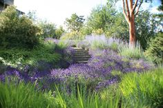 Spanish Lavender, Russian Sage, Switch Grass and Hakone Grass. Beautiful mix of perennials.