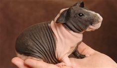 """Hairless Guinea Pigs or """"Skinny Pigs"""" as they have been come to be called are the same as regular guinea pigs, the only difference is their lack. directions to make blankets Baby Guinea Pigs, Baby Pigs, Hairless Animals, Pig Pics, Guinea Pig Breeding, Skinny Pig, American Shorthair, Animal Antics, Pet Home"""