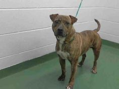 4/7*****3/31/16 Gus is still looking for his furever home!...FOUND IN MANATEE COUNTY PALMETTO, FLORIDA...PetHarbor.com: Animal Shelter adopt a pet; dogs, cats, puppies, kittens! Humane Society, SPCA. Lost & Found.
