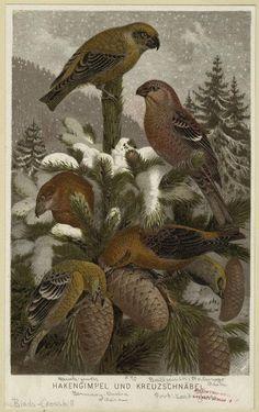 'Hakengimpel und Kreuzschnäbel' ( Grosbeak and Crossbill ). From 'Brehm's Tierleben.' (Leipzig: Bibliographisches Institut, 1863-). Author - Alfred Edmund Brehm (1829-1884). Image and text courtesy...