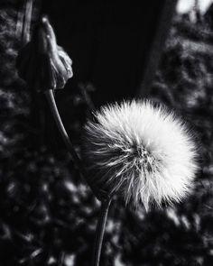 Siete días siete fotos en blanco y negro de tu vida diaria. 2 of 7. Por invitación de mi amada @dscndientdkain  #flickr #monochrome #bnw #flower #bokeh (http://ift.tt/2zEIg4I)