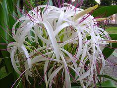 C. Asiaticum, via Flickr.