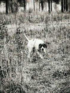 Can you find the Bobwhite Quail? Quail Hunting, English Pointer, Grouse, Pointers, Mittens, Murals, Guns, Texas, Outdoors