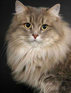 Russian Siberian- OLLIE CAT!!:)