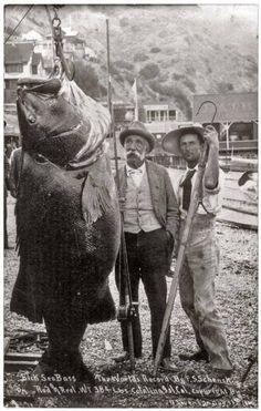 384 lb. black sea bass caught off Catalina Island, California, 1900