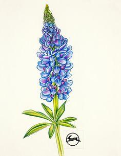 Bleu Lupin crayon dessin Maine fleur Fine Art Print par BunPrint