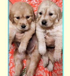 Golden Retriever Breed, Retriever Puppies, Puppies For Sale, Dogs And Puppies, Golden Family, Beagle Puppy, Shelter Dogs, Kolkata, Dog Breeds