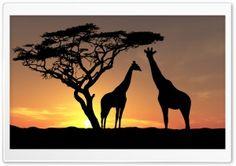 Giraffes In The Sunset HD Wide Wallpaper for Widescreen