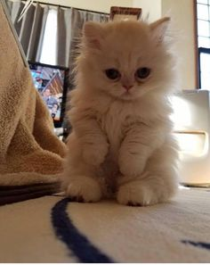 adorable himalayan kitten pictures ideas - most affectionate cat breeds #catbreeds