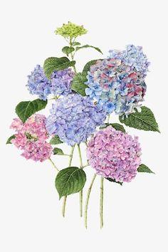 """Hydrangeas"" - by Evelyn Binns. Art Floral, Watercolor Flowers, Watercolour, Illustration Botanique, Illustration Blume, Botanical Flowers, Botanical Prints, Flower Prints, Flower Art"