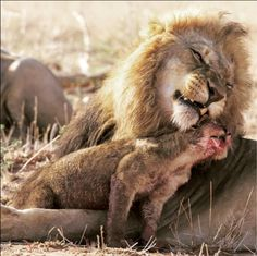 "'""Thanks, dad!"" ~ The lion pride has killed a buffalo and the cubs have just fed. According to the photographer, this little cub wanted time with dad, no doubt looking for a good cleaning. Nature Animals, Animals And Pets, Baby Animals, Funny Animals, Cute Animals, Nature Nature, Big Cat Family, Lion Pride, Cartoon Drawings Of Animals"