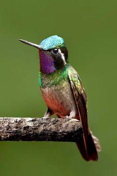 Purple-throated Mountaingem