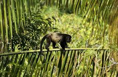 Male Howler monkey climbing across a palm frond near the beach in Manuel Antonio, Costa Rica