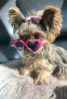 Teacup Yorkie, Yorkie Puppy, Animals Kissing, Animals And Pets, Cute Dogs, Cute Babies, Yorkies, Baby Dogs, Yorkshire Terrier