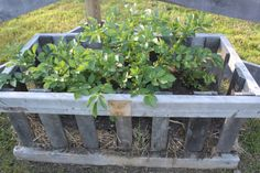 Our potatoes growing in the early summer in our crates