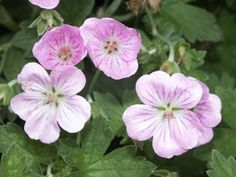 Geranium riversleaianum 'Mavis Simpson'.  Cranesbill Nursery - Hardy geraniums UK Specialist