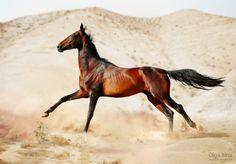 Akhal tekhe. My favourite breed