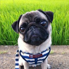 Pug fix!  Instagram by huxxi | Puppy Tales
