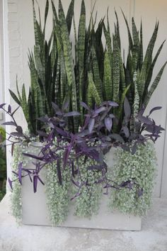 Thinking Outside The Boxwood: sansevieria, Dichordra 'Silver Falls', Setcreasea 'Purple Heart'