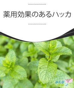 薬用効果のあるハッカ  ミントとしても知られ、料理の飾りや香りづけなどに使われたり、カクテルや薬用効果のある飲み物にも使われるハッカ。