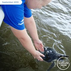 This Kemp's ridley sea turtle takes its first strokes after the SeaWorld Rescue Team returned it to the wild. The turtle was part of a group brought in suffering from oil-related illnesses during the 2010 Deepwater Horizon oil spill. #365DaysOfRescue