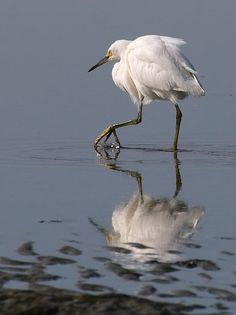White Egret - lots of these little ones in my backyard. They love our waterways!