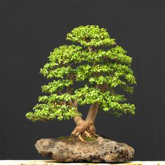 Portulacaria afra is easy to develop as a good jade bonsai, much easier than the larger leaf jade Crassula argentea Both are African succulents and will adapt to indoors is grown in high light.