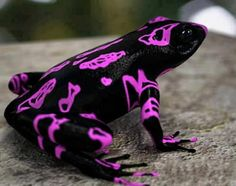 Harlequin Frog. Unfortunately, this amazing looking creature is also one of the world's rarest and highly endangered amphibians.