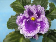 African Violet Canadian Sunset 4852 06 05 1982 | eBay Canadian Sunset (4852) 06/05/1982 (B. Elkin) Single red frilled/white streaks. Quilted, wavy, ruffled. Large