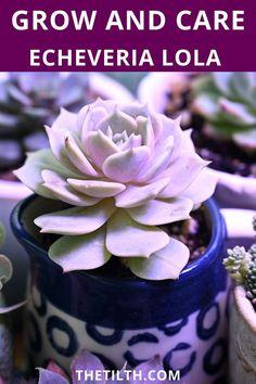 Echeveria Lola. Types Of Succulents, Succulent Care, Echeveria, Simple, Plants, Elegant, Classy, Plant, Chic
