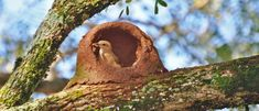 João-de-barro (Furnarius rufus) construindo ninho - foto de Adilson C. Constantini