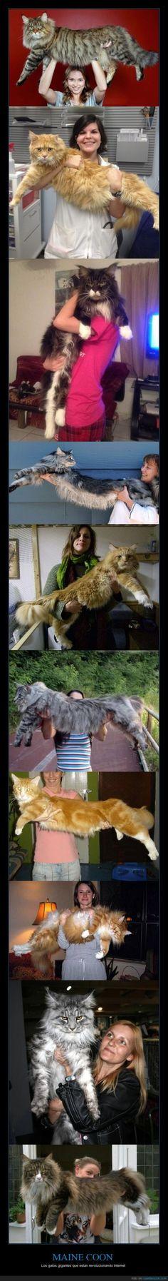 Vaya pedazo de GATAZOS D: - Los gatos gigantes que están revolucionando Internet