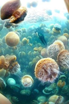 Ozean-Leben-Fotografie — Quallensee in Palau Ocean Life Photography—Jellyfish lake in palau - Sealife Under The Water, Life Under The Sea, All Nature, Science Nature, Giant Jellyfish, Jellyfish Art, Underwater Life, Ocean Creatures, Sea And Ocean