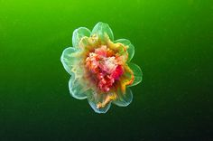 Underwater Experiments: Astounding Photographs of Jellyfish by Alexander Semenov underwater nature jellyfish