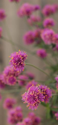 Proven Winners - Truffula™ Pink - Globe Amaranth - Gomphrena pulchella pink hot pink plant details, information and resources. Globe Amaranth, Landscaping Shrubs, Drought Tolerant Landscape, Pink Plant, Pink And White Flowers, Summer Garden, Growing Plants, Cut Flowers, Trees To Plant