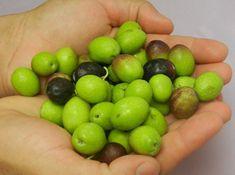 Φτιάξετε μόνοι σας ωραιότατες βρώσιμες ελιές, βάλτε τις απλά σε μπουκάλι Preserves, Olive Oil, Fruit, How To Make, Recipes, Food, Preserve, Rezepte, Preserving Food