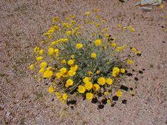 Desert Plants | desert marigold