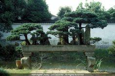 Penjing de árbol.  #artechina #penjing