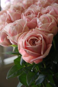 rose clea
