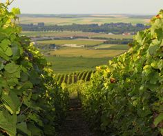 The Champagne vineyards - as far as the eye can see. Champagne France, Haute Marne, Ardennes, Reims, French Wine, In Vino Veritas, Belle Photo, Countryside, Vineyard