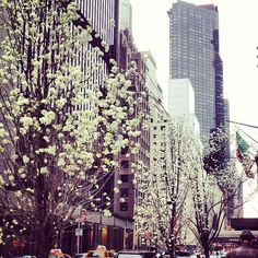 Cherry Blossoms blooming in New York